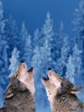 Pair of Howling Gray Wolves Fotografie-Druck von Jeff Vanuga