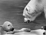 Polar Bears Looking at Each Other Fotodruck von Bill Varie