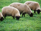 Sheep Grazing Photographic Print