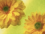 Two Yellow Chrysanthemums Photographic Print by Michelle Garrett