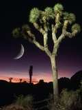 Crescent Moon and Joshua Tree Photographic Print by Richard Cummins