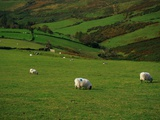 Sheep and Stone Walls in Green Pastures Photographic Print by Richard Cummins