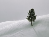 Lone Lodgepole Pine in the Snow Photographic Print by George Lepp