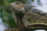 Male Green Iguana Papier Photo par W. Perry Conway