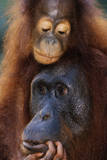 Female and Baby Orangutan in Borneo Reproduction photographique par W. Perry Conway
