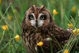 Short-Eared Owl Staring with Yellow Eyes Photographic Print by W. Perry Conway