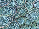 Succulents Photographic Print by Darrell Gulin