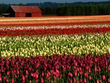 Rows of Tulips at DeGoede's Bulb Farm Photographic Print by John McAnulty