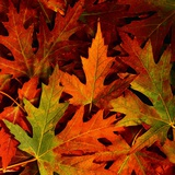 Autumn Leaves Photographic Print by Mark Karrass