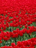 Field of Red Tulips Fotografie-Druck von Mark Karrass