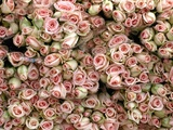 Pink and Cream Rose Bud Bunches Photographic Print by Owen Franken