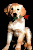 Golden Retriever with Red Rose Art Print Poster Posters