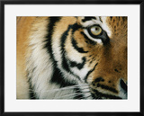 Close View of an Indian Tiger Framed Photographic Print by Michael Nichols
