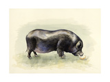 Italian Black Pig Giclee Print by Alison Cooper