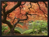 Japanese Maple, Portland Japanese Garden, Oregon, USA 額入り写真プリント : ウィリアム・サットン