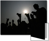 A Man Is Silhouetted Along with His Camels after They Were Brought to an Animal Market to Be Sold Print by Mohsin Raza