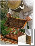 A Beekeeper Holds a Honeycomb at Al Taryyaq Farm in Jordan Valley Poster by Ali Jarekji
