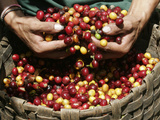 A Farmer Scoops Up Organic Coffee Beans Photographic Print by Enrique Castro-Mendivil