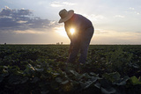 Migrant Laborer Weeds Melon Field in Somerton Photographic Print by Jeff Topping