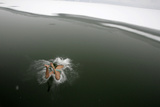 A Swimmer Jumps into the Icy Waters of a River on a Snowy Winter Day in Taiyuan Photographic Print by Stringer Shanghai