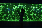 A Visitor Takes a Picture of a Jellyfish with Her Mobile Phone under the Green Lights Photographic Print by Darley Shen
