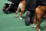 Bulldogs and Handlers are Seen in the Ring During Competition Photographic Print by Mike Segar