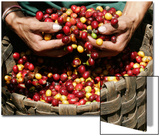 A Farmer Scoops Up Organic Coffee Beans Posters by Enrique Castro-Mendivil
