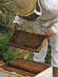 A Beekeeper Holds a Honeycomb at Al Taryyaq Farm in Jordan Valley Photographic Print by Ali Jarekji