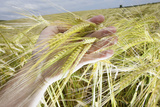 A Man Examines a Crop of Barley on a Farm in Leicestershire Photographic Print by Darren Staples