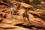 Mountain Goat in Zion National Park, Utah, USA Photographic Print by  EvanTravels