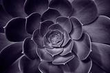 Succulent Plant Photographic Print by  EvanTravels
