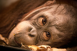 Orangutan Face Reproduction photographique par  EvanTravels