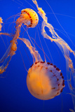 Sea Nettle Jellyfish Photographic Print by  EvanTravels