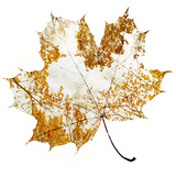 Autumn Maple Leaf Fotodruck von Sergey Peterman