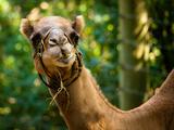 Camel - Camelus Dromedarius Print by  EvanTravels