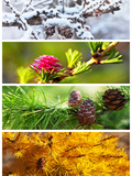 Collage. Larch Tree. Four Seasons. alendar Photographic Print by  katvic