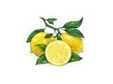Watercolor Drawing of Lemon Posters by  MargaritaSh