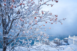 Snow Covered Rowanberry Tree (Lat. Sorbus) Photographic Print by  katvic