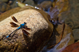 Blue Dragonfly on Rock in Woobodda Creek, Australia Photographic Print by  EvanTravels