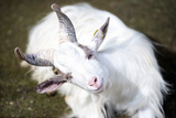 White Goat Staring Fixed Gaze Seated Photographic Print by  stefano pellicciari
