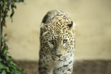 Lonely Leopard Sad Eyes Captivity Photographic Print by  stefano pellicciari