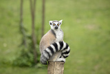 Lemur Sitting on a Log Funny Staring Fixed Gaze Big Eyes Photographic Print by  stefano pellicciari