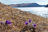 Bright Mayflower on Shore of Baikal Lake Photographic Print by  katvic