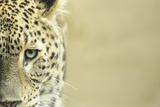 Leopard Sad Eyes Captivity close Up Photographic Print by  stefano pellicciari