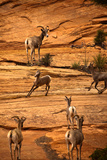 Mountain Goat in Zion National Park, Utah, USA Photo by  EvanTravels