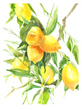 Lemon Tree Prints by Suren Nersisyan