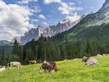 Grazing Cattle, Tyrol, Austria Metalltrykk av Martin Zwick