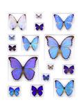 Cerulean Butterflies Alu-Dibond von Christopher Marley