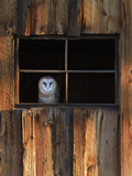 A Barn Owl, Tyto Alba, in the Window of a Barn Alu-Dibond von Robbie George