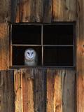 Robbie George - A Barn Owl, Tyto Alba, in the Window of a Barn - Sanat